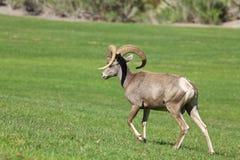Mouflons d'Amérique Ram Walking de désert Photographie stock libre de droits