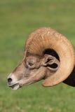 Mouflons d'Amérique Ram Portrait de désert Photos libres de droits
