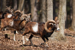 Mouflons in European forest Royalty Free Stock Images
