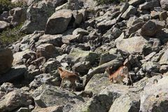 Mouflons, ewe and lamb in Pyrenees. Ovis orientalis Royalty Free Stock Image