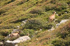 Mouflons, ewe and lamb in Pyrenees. Ovis orientalis Stock Images