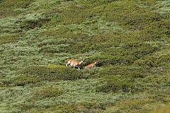 Mouflons, ewe and lamb in Pyrenees. Ovis orientalis Stock Image