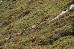 Mouflons, ewe and lamb in Pyrenees. Ovis orientalis Stock Photo