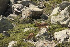 Mouflons, ewe and lamb in Pyrenees. Ovis orientalis Royalty Free Stock Photos