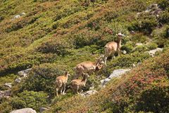 Mouflons, ewe and lamb in Pyrenees. Ovis orientalis Royalty Free Stock Photography