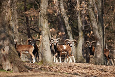 Mouflons in forest stock photo