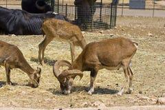 Mouflons ouviu carneiros selvagens está comendo Imagens de Stock