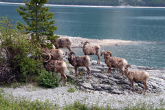 Mouflons in the rocky mountains Canada Royalty Free Stock Photos
