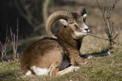 Mouflons Stillstehen Lizenzfreies Stockbild
