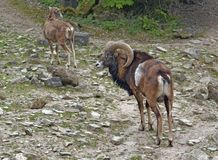 Mouflons on stony ground Royalty Free Stock Photography