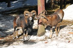 Mouflons in winter. Old male mouflon with big horns and the other younger one in winter royalty free stock photo