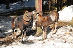 Mouflons in winter. Old male mouflon with big horns and the other younger one in winter stock photos
