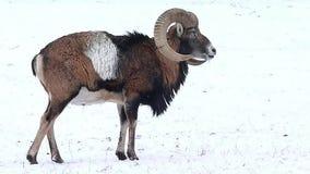 Mouflonwintertijd stock video