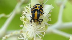 Mouhotii Ixorida στον κήπο φιλμ μικρού μήκους