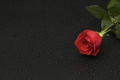 Mouillez la série de Rose Image stock