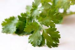 Mouillez les feuilles de la coriandre image libre de droits