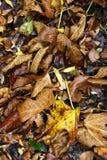 Mouillez les feuilles en automne Photographie stock libre de droits