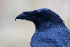 Mouillez Raven Image libre de droits