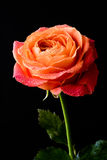 Mouillez rose sur une table en bois Photographie stock