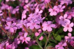 Mouillez sur des fleurs de soapwort pendant le matin Images stock
