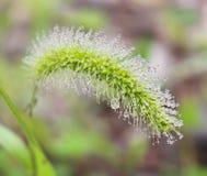 Rosée sur la tige d'herbe Photo stock