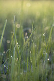 Mouillez sur l'herbe un matin ensoleillé de ressort image stock
