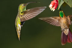 Mouintain Velvet breast. Hovering in front of flower, another hummer chases him,  Ecuador Royalty Free Stock Images