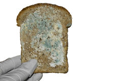 Mould on the bread in hand. Isolated on white moulded slice of wholemeal bread royalty free stock photography