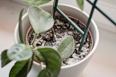 Mould growing on a soil in the flower pot with the house plant. Young hoya plant in humid stock image