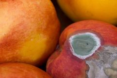 Mould On Peach. A mold attacked peach surrounded by good ones Royalty Free Stock Photo