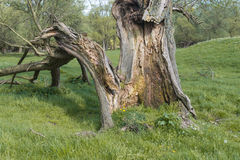 Mouldering old willow tree Royalty Free Stock Photo