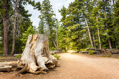 Mouldering stump in pine forest Stock Image