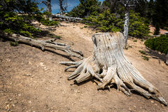 Mouldering stump in pine forest Royalty Free Stock Photography
