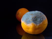 Mouldy Orange royalty free stock image