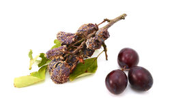 Mouldy, rotting plums in contrast with fresh, ripe fruit Royalty Free Stock Photography