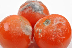 Mouldy tomato on a white background Stock Photos