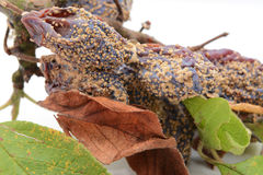 Mouldy, withered plum fruits and dead leaves Stock Image