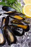 Moule Photo stock