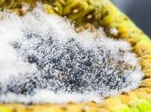 Moule de pain s'élevant en cellule mûre de fruit Photographie stock