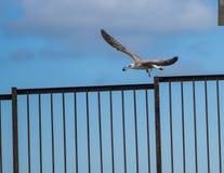 Moule de saisie de mouette de vol sur le rivage de la mer à Sotchi Image libre de droits