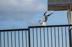 Moule de saisie de mouette de vol sur le rivage de la mer à Sotchi Images stock