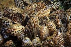 Moule de zèbre (polymorpha de Dreissena) photographie stock