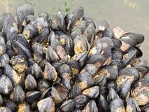 Moules exposées sur une roche à marée basse Images libres de droits