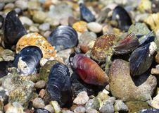 Moules merveilleuses Images stock