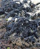 moules noires sur la roche par la mer images libres de droits
