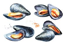 Moules réglées, fruits de mer Illustration tirée par la main d'aquarelle d'isolement sur le fond blanc illustration stock