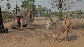Moulin primitif pour serrer l'huile de palme clips vidéos