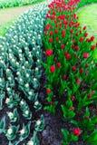 Moulins d'adnd de champ de tulipe vieux dans le netherland Images libres de droits