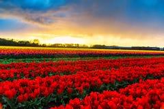 Moulins d'adnd de champ de tulipe vieux dans le netherland Photo stock
