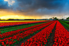 Moulins d'adnd de champ de tulipe vieux dans le netherland Image stock